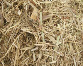 Sugar Cane-0
