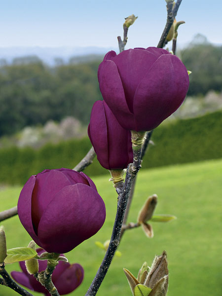 Magnolia Black Tulip - OUT OF STOCK-125