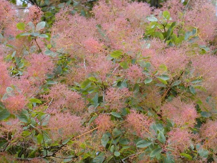 Cotinus Coggygria Flame (Smoke Bush)-0