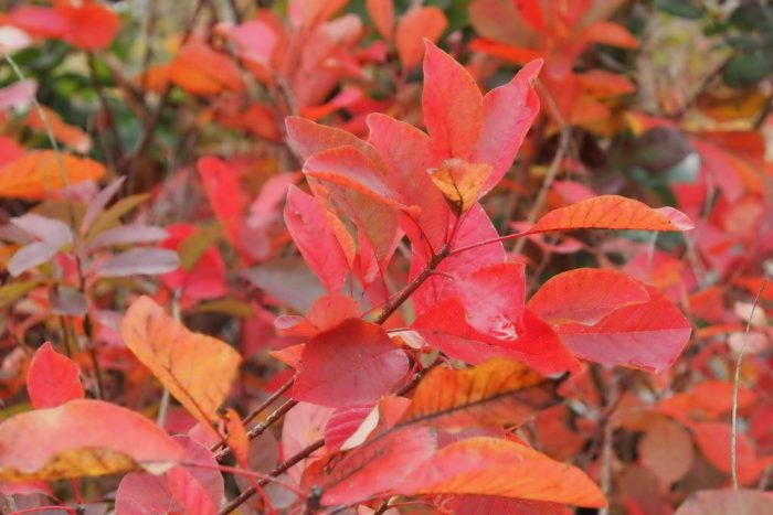 Cotinus Coggygria Flame (Smoke Bush)-114