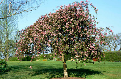Malus Echtermeyer Std - Weeping Crab Apple-0