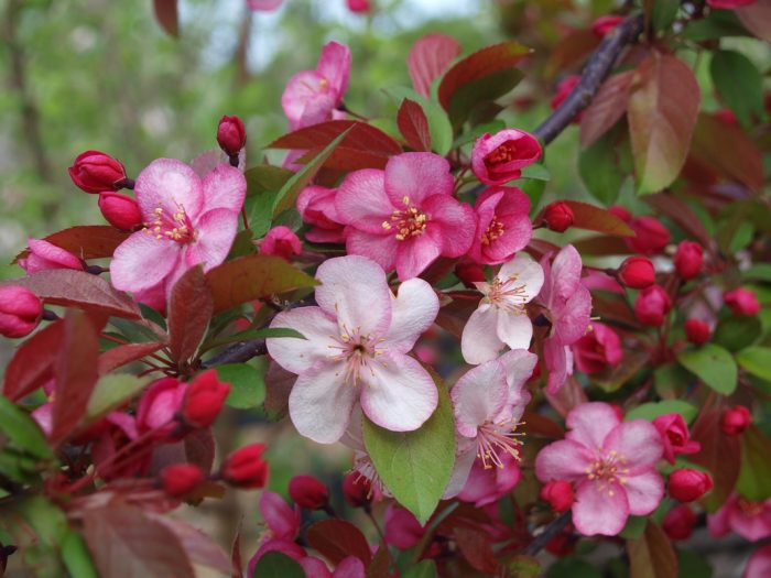 Malus Echtermeyer Std - Weeping Crab Apple-140
