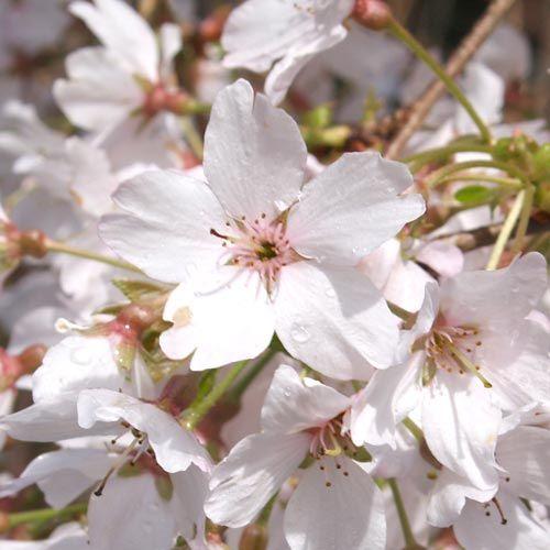 Prunus Subhirtella Falling Snow (Weeping Cherry)-136