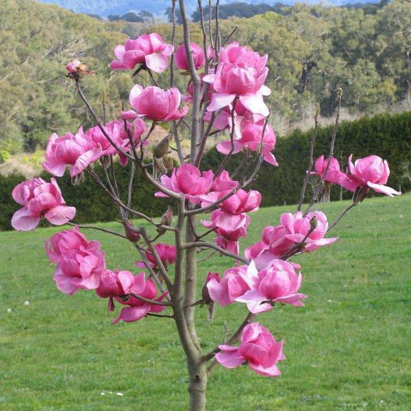 Magnolia Felix-123