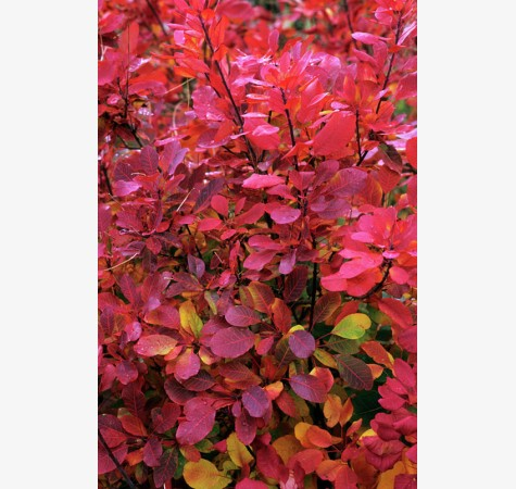 Cotinus Coggygria Flame (Smoke Bush)-117