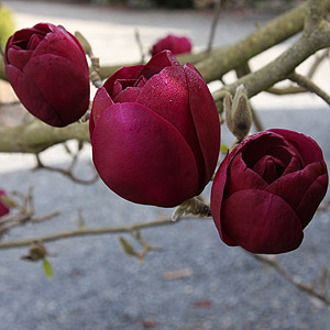 Magnolia Black Tulip - OUT OF STOCK-126