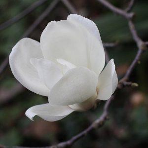 Magnolia Denudata Yulan-130