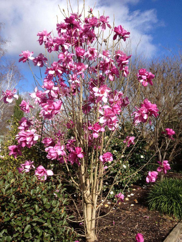 Magnolia Vulcan-129