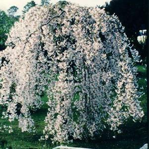 Prunus Subhirtella Falling Snow (Weeping Cherry)-0