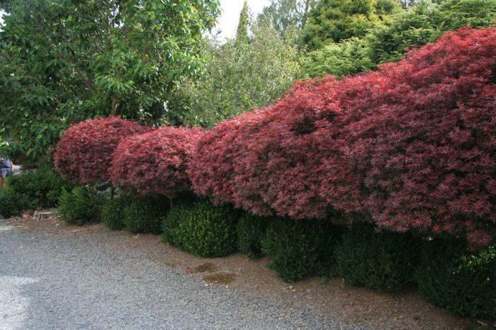 Acer Palmatum Shaina-0