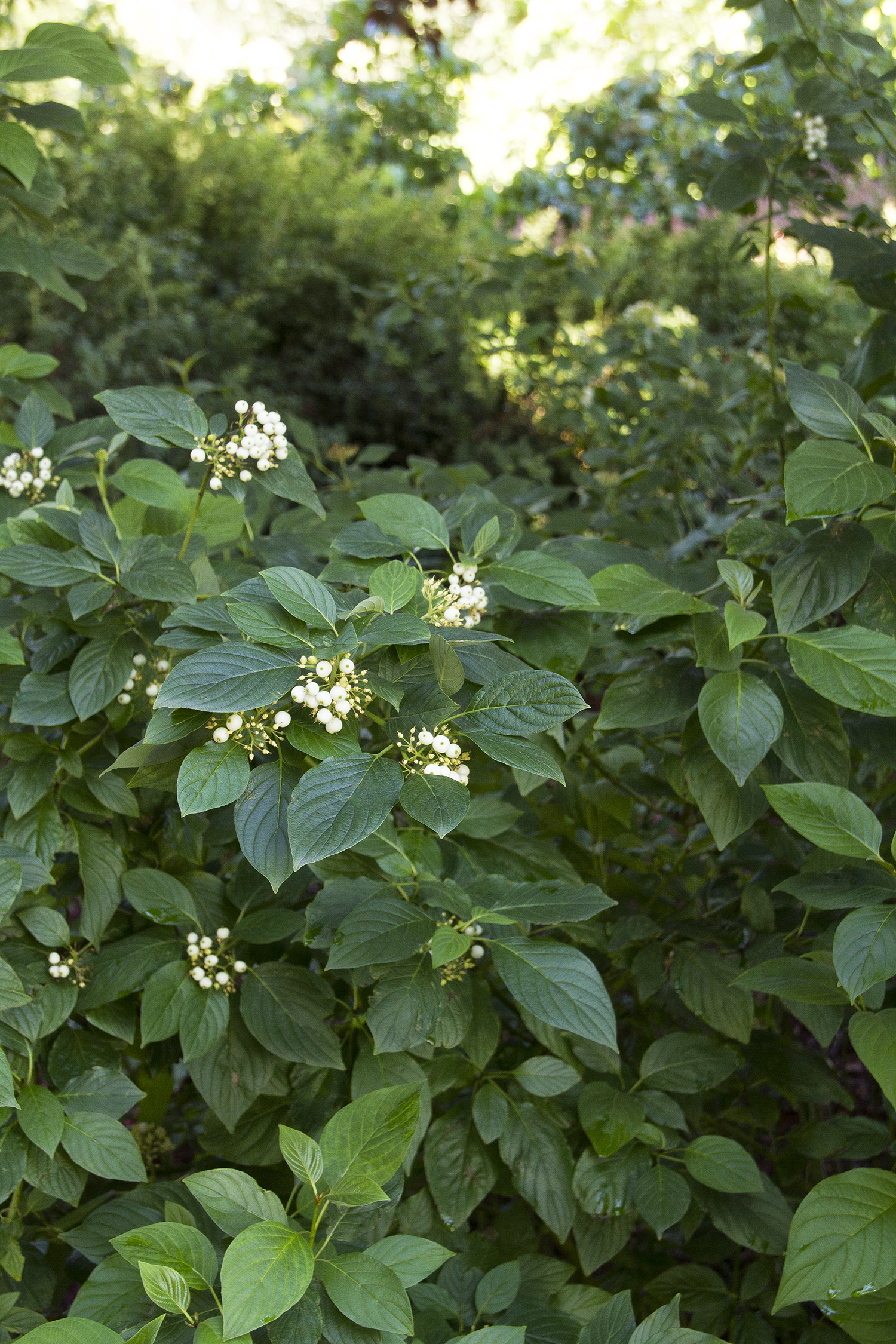 Cornus Sericea hybrid (Yellow Stem Dogwood)-122