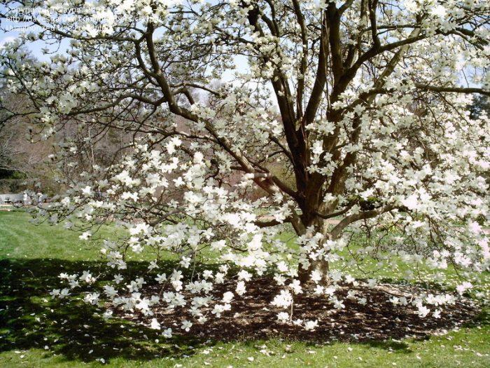 Magnolia Denudata Yulan-0