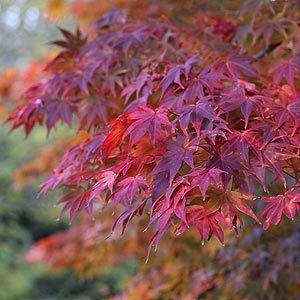 Acer Palmatum Osakazuki-204