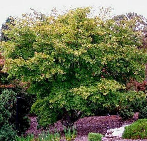 Acer Palmatum Elegans-0