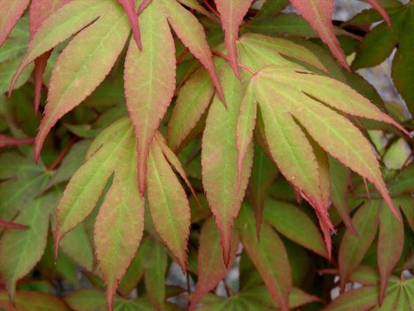 Acer Palmatum Osakazuki-0