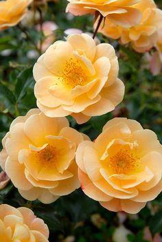 Flower Carpet - Amber-194