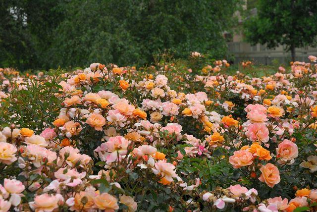 Flower Carpet - Amber-0