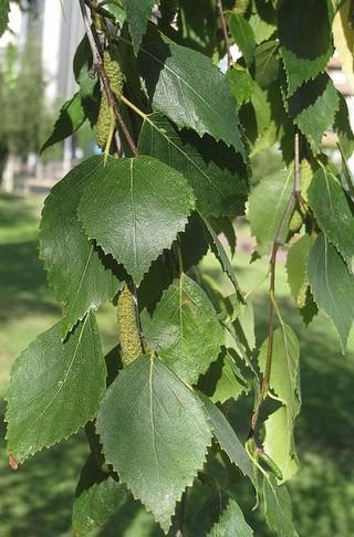Betula Pendula Standard Weeping Silver Birch-0