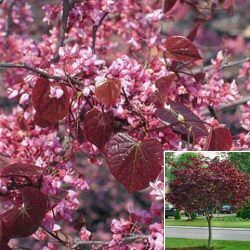 Cercis Canadensis Forest Pansy-215