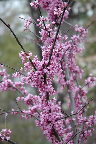Cercis Canadensis Forest Pansy-216