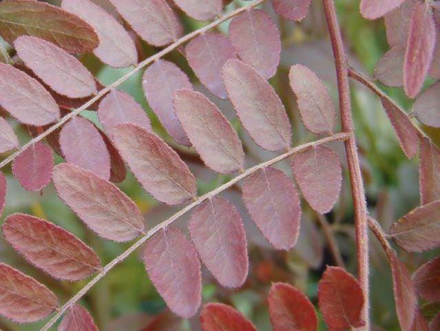 Gleditsia Triacanthos Ruby Lace-0