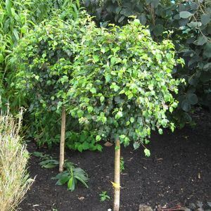 Betula Globe Lollipop Birch-0
