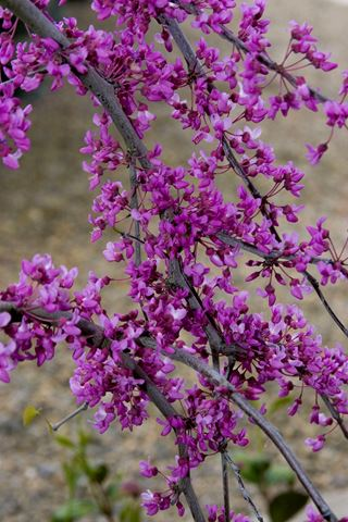 Cercis Canadensis Covey Lavender Twist-213