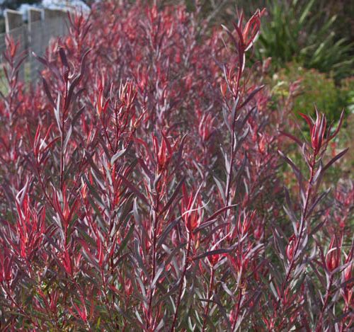 Leucadendron Gypsie Red-0