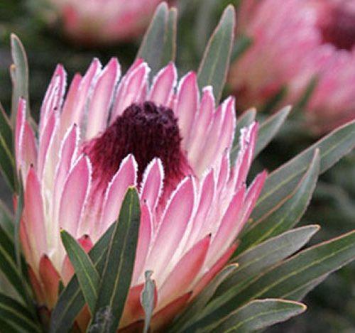 Protea Pixie-0