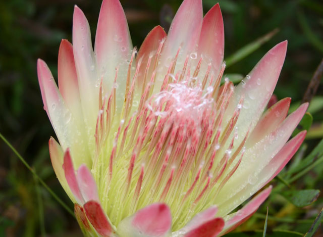 Protea Ruby Blush-0