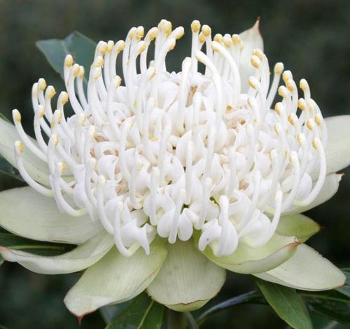 Waratah - Telopea Shady Lady White-0