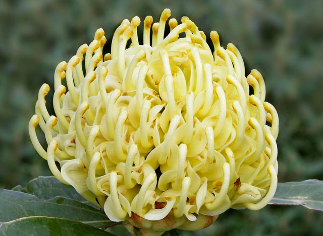 Waratah - Telopea Shady Lady Yellow-0