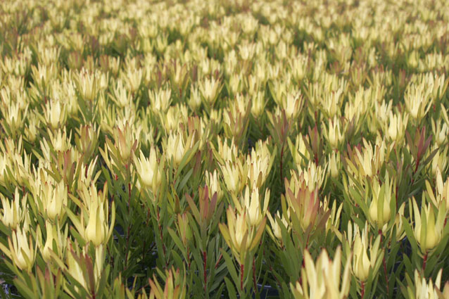 Leucadendron Yellow Devil-0